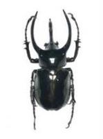 Chalcosoma caucasus