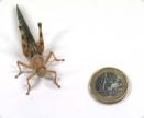 Vandringsgräshoppa stor
