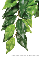 Ficus medium