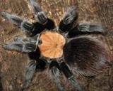 Brachypelma albiceps