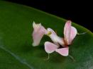 Orkideé Bönsyrsa