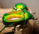 Smaragdestes africana