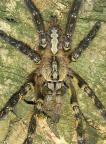 Poecilotheria maculata