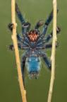 Avicularia versicolor