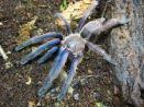 """Chilobrachys sp. """"Blue"""" (South Vietnam)"""