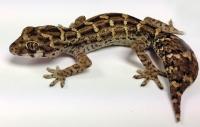 Vipergecko