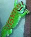 Stor Daggecko