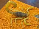 Hadrurus arizoniensis