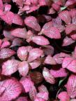 Fittonia rosa