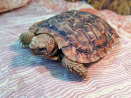 Pannkaks Sköldpadda