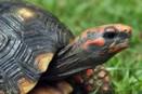 Rödfotad skogssköldpadda