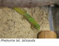 Phelsuma laticauda