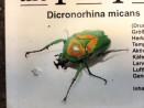 Dicronorhina micans