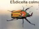 Eudicella colmanti