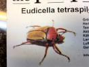 Eudicella tetraspilota