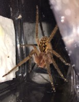 Piloctenus haematostoma