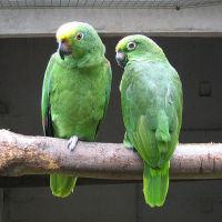 Gulpannad Amazon Papegoja