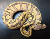 Mojave Enchi Pastell Ghost