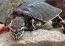 Mjukskalssköldpadda