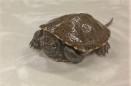 Europeisk Kärrsköldpadda