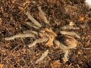 Theraphosinae sp Piura